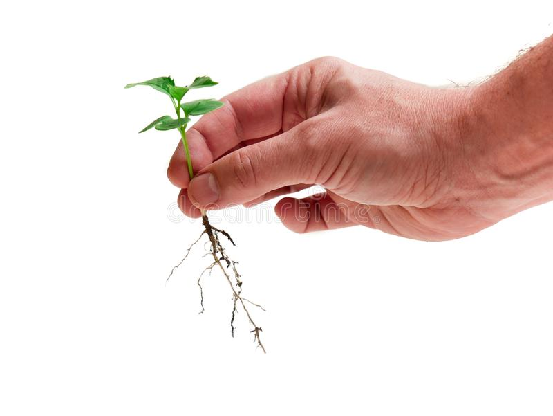 Hand of a caucasian man holding carefully a seedling of a rose trumpet tree with the roots exposed. And White background royalty free stock photos