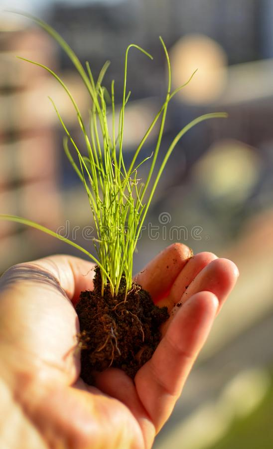 Caucasian man holds a clod of earth with a chive seedling. The hand of the Caucasian man holds a clod of earth with a chive seedling. Selective focus on the stock photo