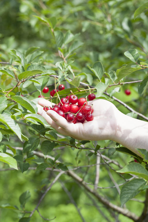 Download Hand with cherries stock image. Image of delicious, garden - 25862009