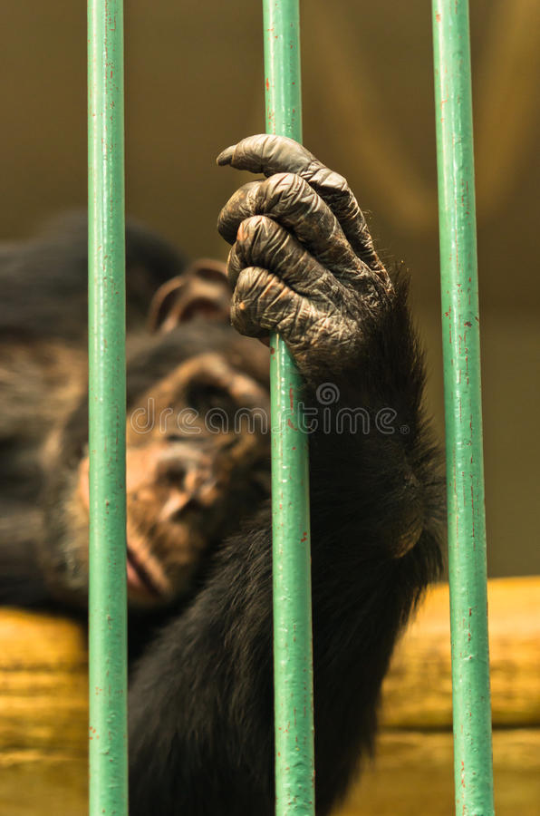 Hand of a chimpanzee monkey holding bar of his cage. Hand of a chimpanzee monkey holding green bar of his cage royalty free stock photo