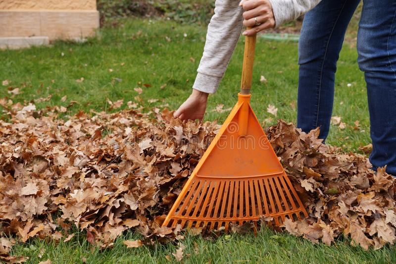 Hand-cleaning of leaves with hands and rakes. Autumn work in the garden. stock photo