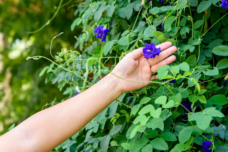 Hand collecting butterfly pea flower royalty free stock photos