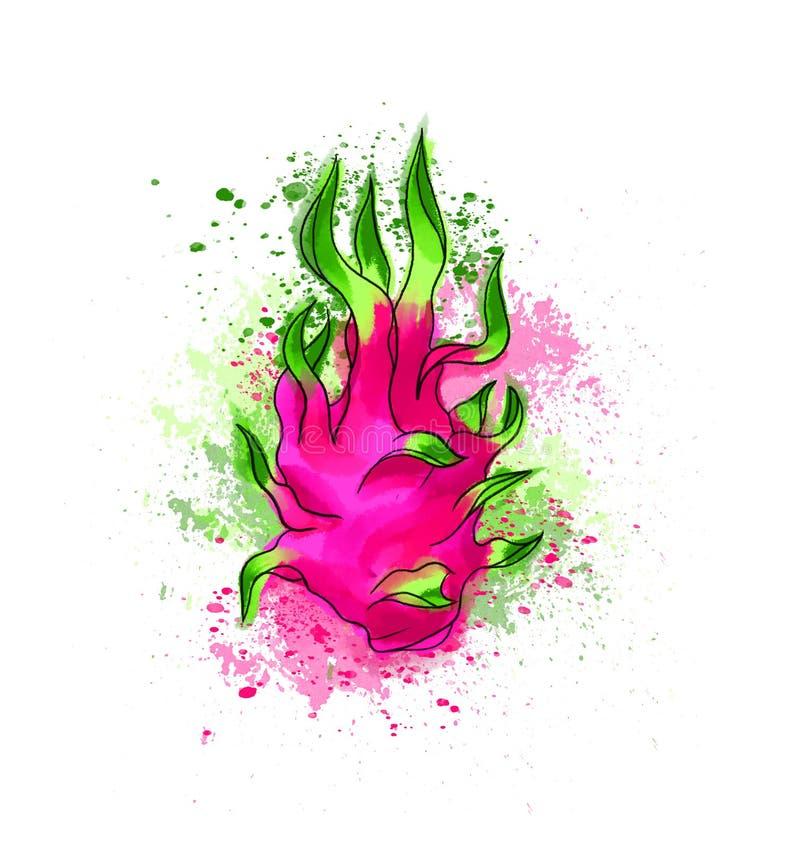 Hand colorful bright delicious dragon fruit. Watercolors, white vector illustration