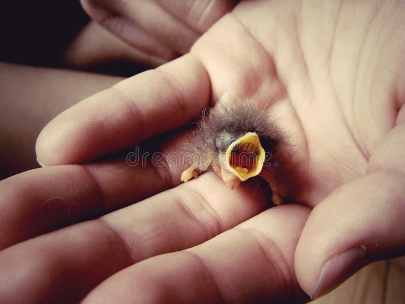 In hand de vogel van de baby stock foto's