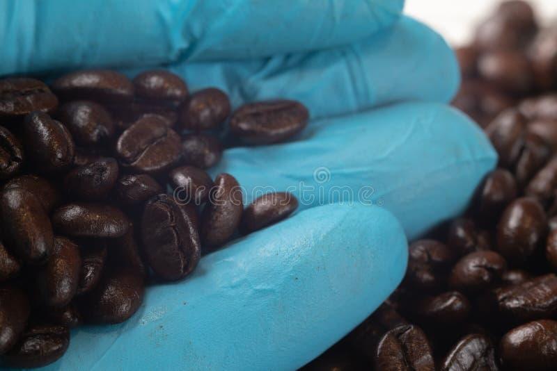 Hand in den blauen Handschuhholdingbraten-Kaffeebohnen stockbilder