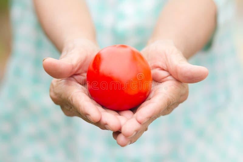 Hand der älteren Frau frische Tomate vom Biobauernhof halten lizenzfreie stockfotografie