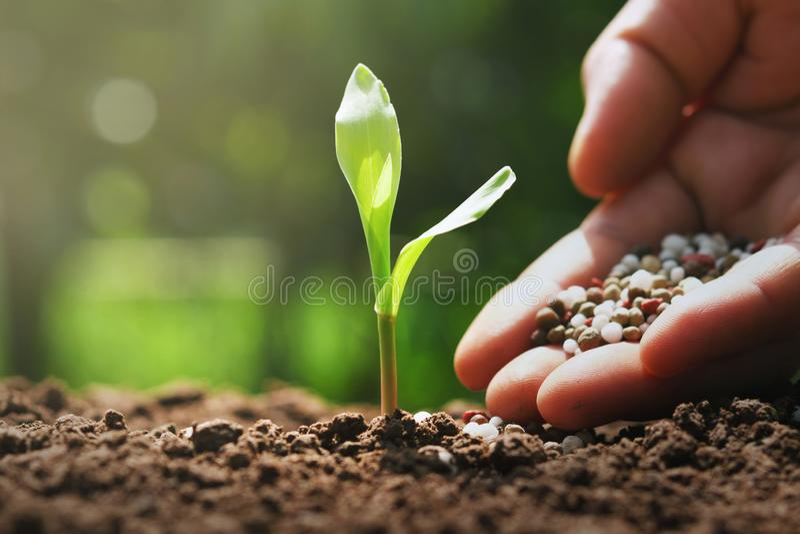 Hand des Landwirts gie?en Minerald?nger f?r jungen Mais im Bauernhof lizenzfreie stockfotos