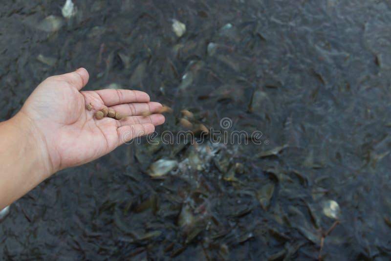 Hand des Mannes, der das Fischfutter hält lizenzfreies stockfoto
