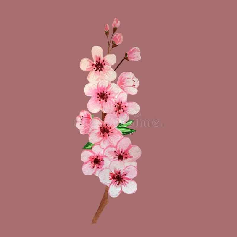 Hand, die Aquarellkirschblüte-Niederlassung auf rosa Hintergrund ertrinkt lizenzfreie abbildung