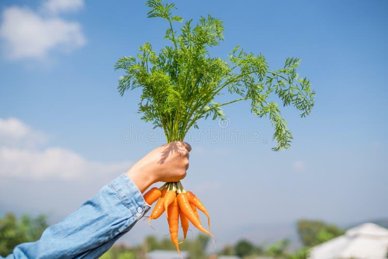 Hand, die Bündel Karotten hält lizenzfreie stockfotos