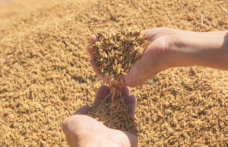 Hand die bruine ongekookte rijst, Thaise rijstachtergrond houden royalty-vrije stock foto's