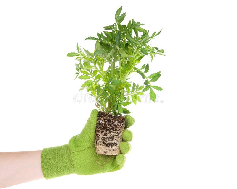 Hand, die den grünen Handschuh hält Ringelblumenblumen-Pflanzenwurzelgrenze trägt lizenzfreies stockbild