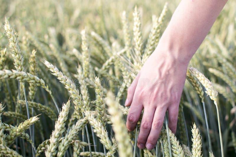 Hand die door Tarwegebied borstelen stock fotografie