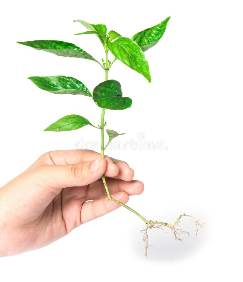 Hand die een boom op wit houden royalty-vrije stock foto