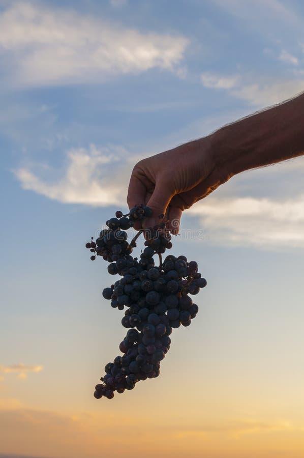 Hand die een bos van rode druiven houden Zonsonderganghemel bij de achtergrond stock foto's