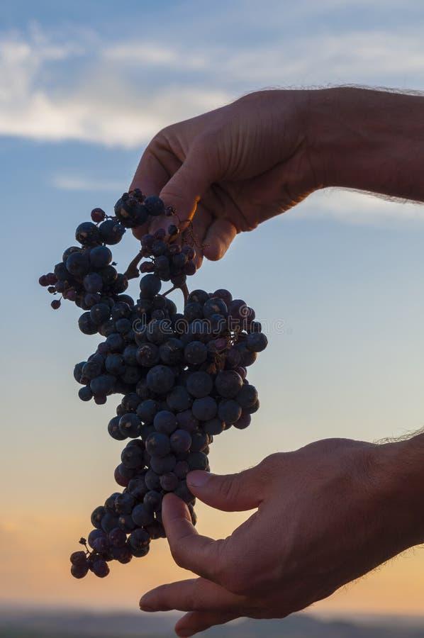 Hand die een bos van rode druiven houden Zonsonderganghemel bij de achtergrond royalty-vrije stock foto's