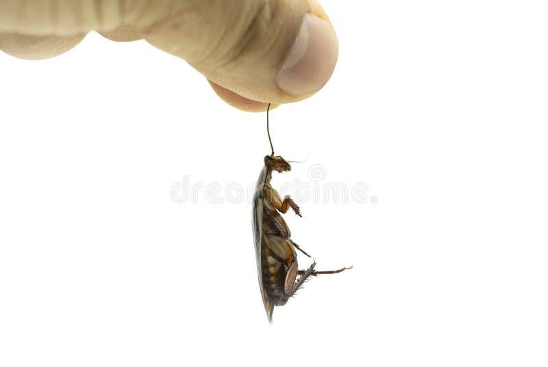 Hand die een dode kakkerlak op witte achtergrond houden stock afbeeldingen