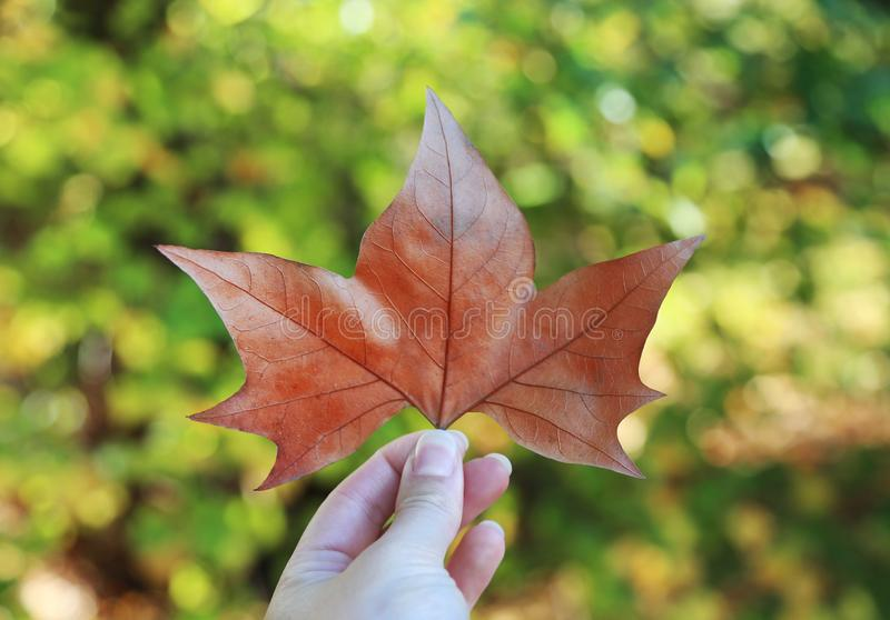 Hand die een groot rood de herfstblad houden in Hyde Park London stock afbeelding