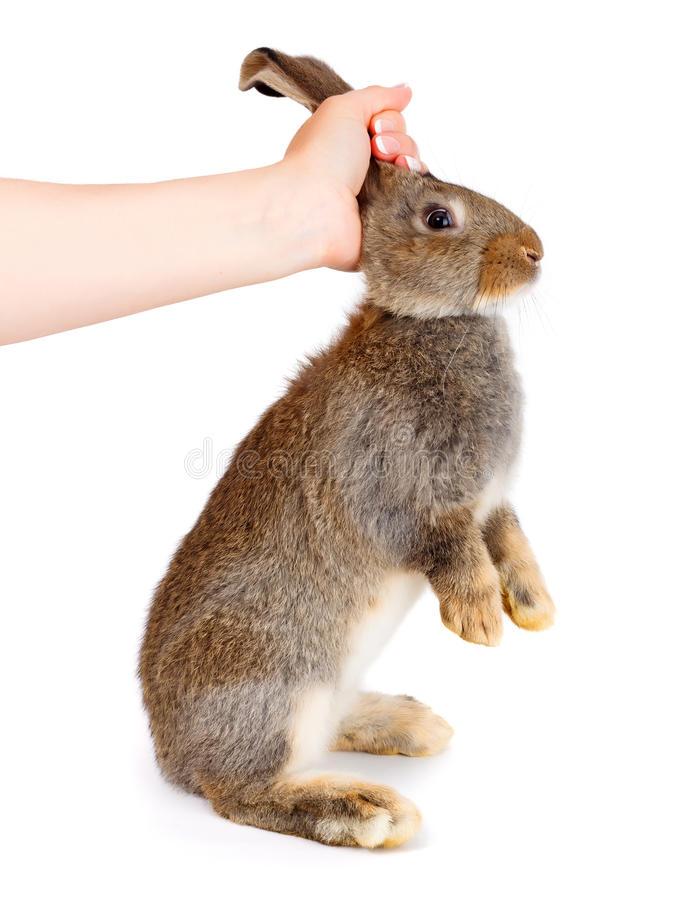 Hand die een jong bruin konijn houden royalty-vrije stock fotografie