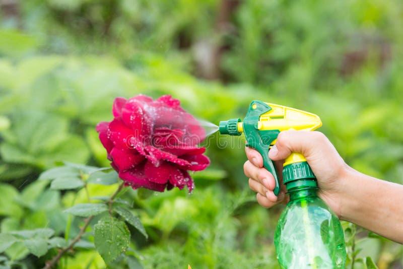Hand die een oplossing van roze bladluis spuiten stock afbeelding