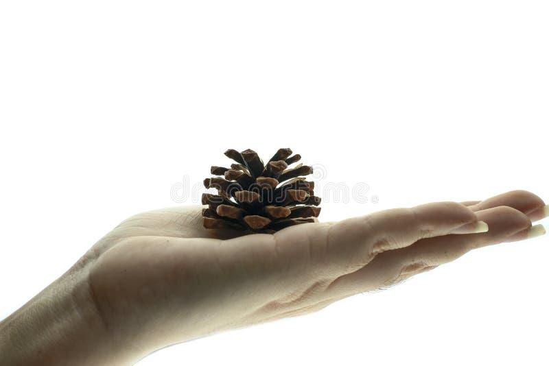 Hand, die einen Kiefernkegel trocken h?lt lizenzfreies stockfoto