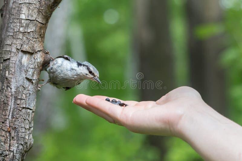 Hand die Europees-Aziatische nuthatch europaea van Sitta met zonnebloemzaden voeden stock foto's