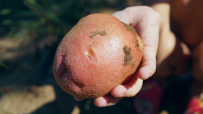 Hand, die frische rosa Kartoffeln hält stockbilder
