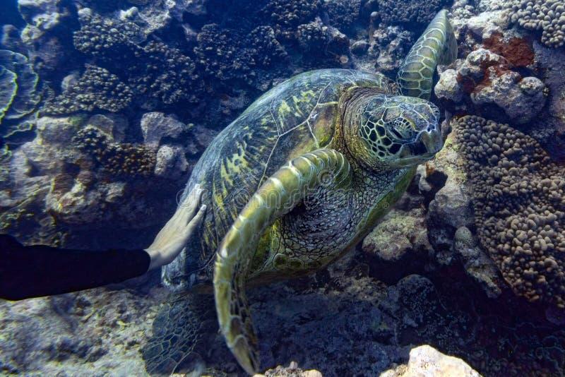 Hand die groen schildpad dicht omhoog portret strelen onderwater royalty-vrije stock afbeeldingen