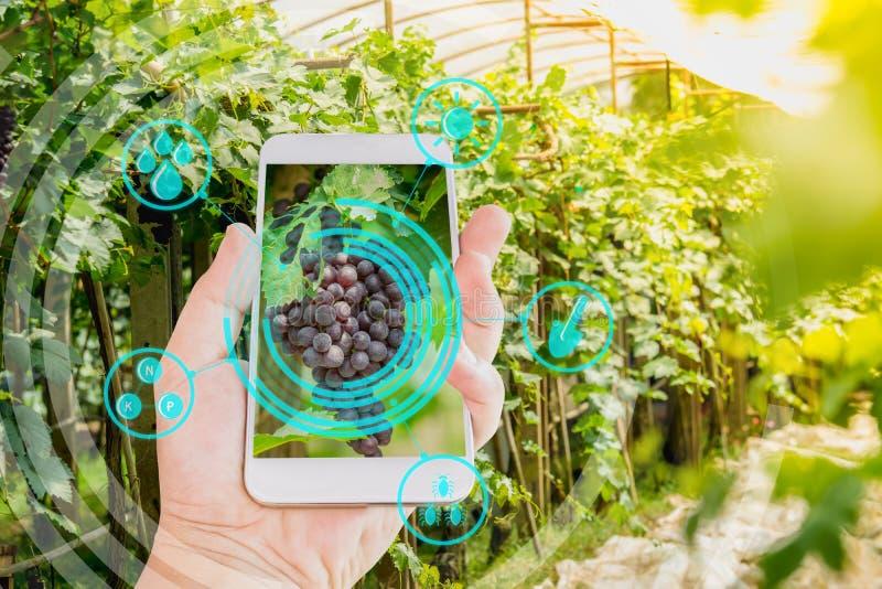 Hand die mobiele telefoon het inspecteren druiven in landbouwtuin houden met concepten moderne technologieën stock foto