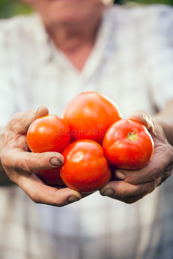Hand die organische tomaten houden Oude handen die tomaten houden stock fotografie
