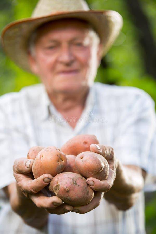 Hand die organische tomaten houden Oude handen die tomaten houden royalty-vrije stock fotografie