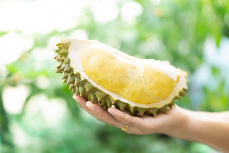 Hand, die reifen Gr?nnaturhintergrund der tropischen Frucht des Durian h?lt stockfotos
