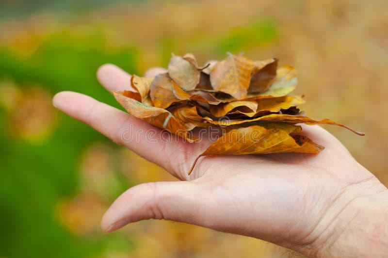 Hand die sommige droge bladeren houden stock foto
