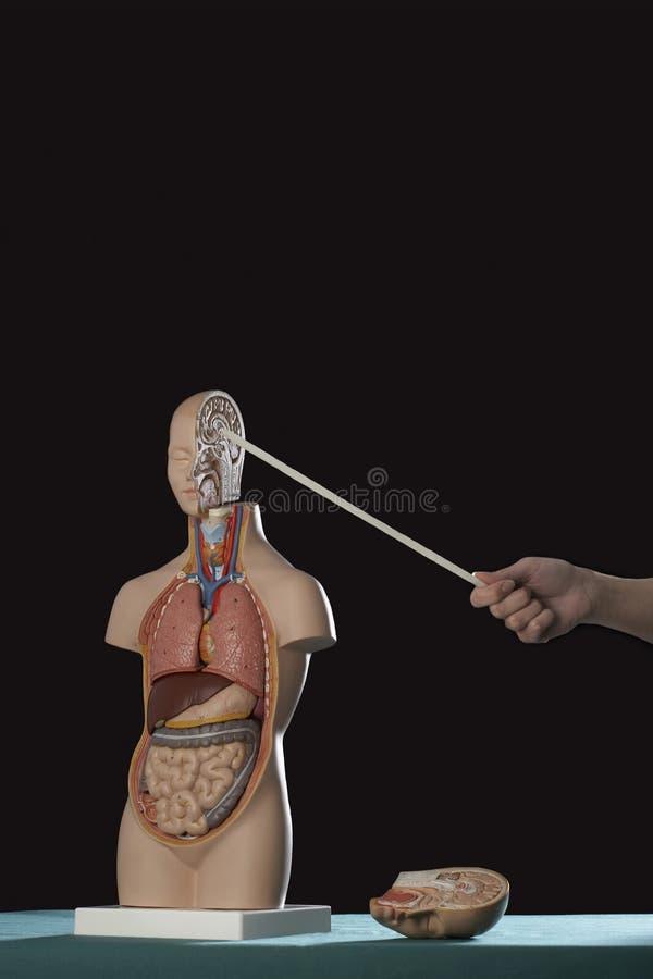 Hand, Die Stock Auf Menschliches Anatomie-Modell Zeigt Stockfoto ...