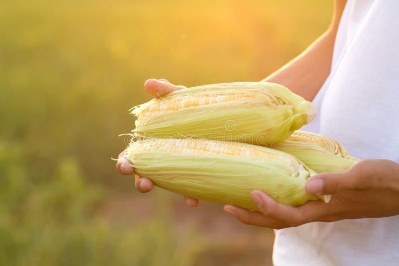 Hand die vers product van graan enkel oogst houden van organisch landbouwbedrijf royalty-vrije stock fotografie