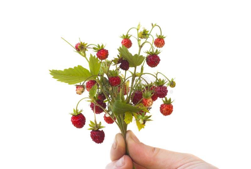 Hand die wilde aardbeifruit geïsoleerd houden stock afbeeldingen