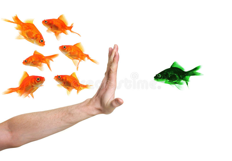 Hand discriminating green goldfish. Isolated on white stock images