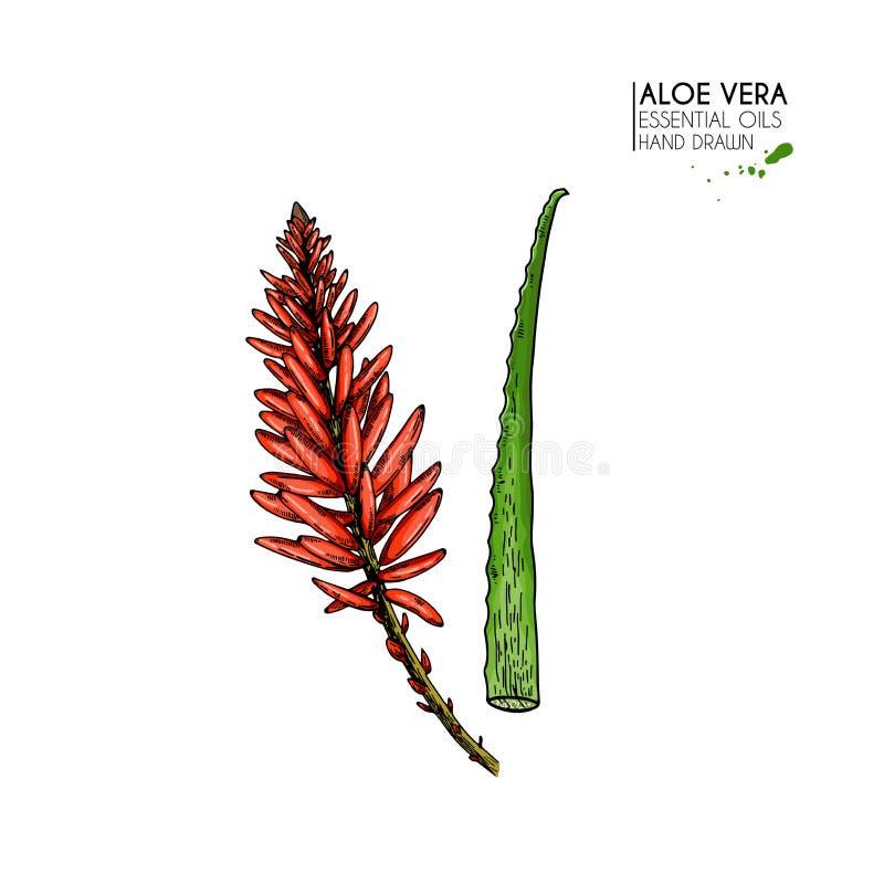 Hand dragen aloevera blomma Engraved färgade vektorillustrationen Läkarundersökning kosmetisk växt Fukta serum stock illustrationer