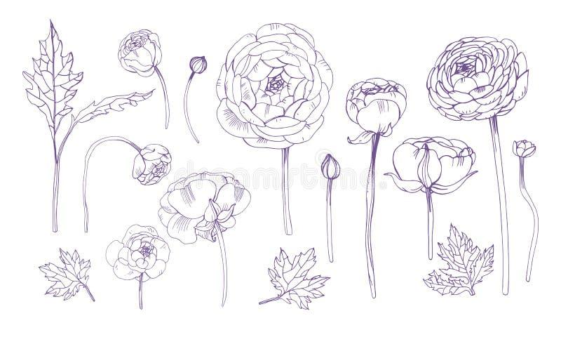 Hand dragen blom- beståndsdeluppsättning för översikt Samling med ranunculusblommor vektor illustrationer