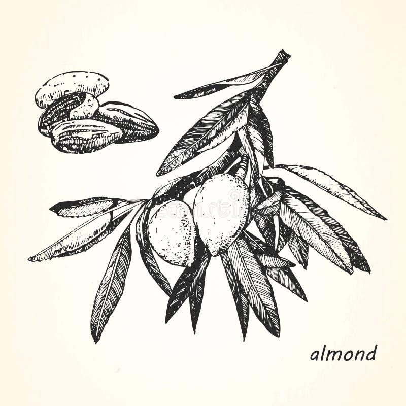 Hand-dragen illustration av mandeln vektor illustrationer
