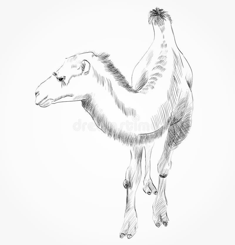 Hand dragen kamel vektor illustrationer