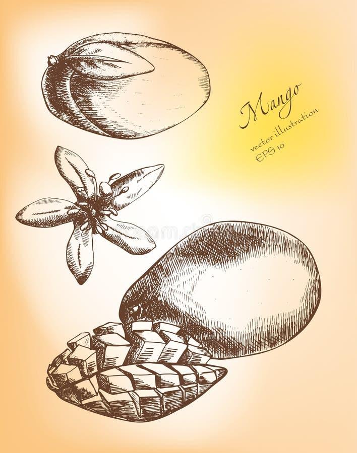 Hand dragen mangofruktuppsättning vektor illustrationer