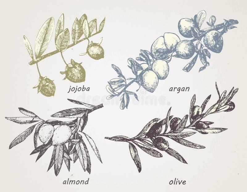 Hand-dragen uppsättning av växter: olivgrönt, argan, mandel och jojoba oljor vektor royaltyfri illustrationer