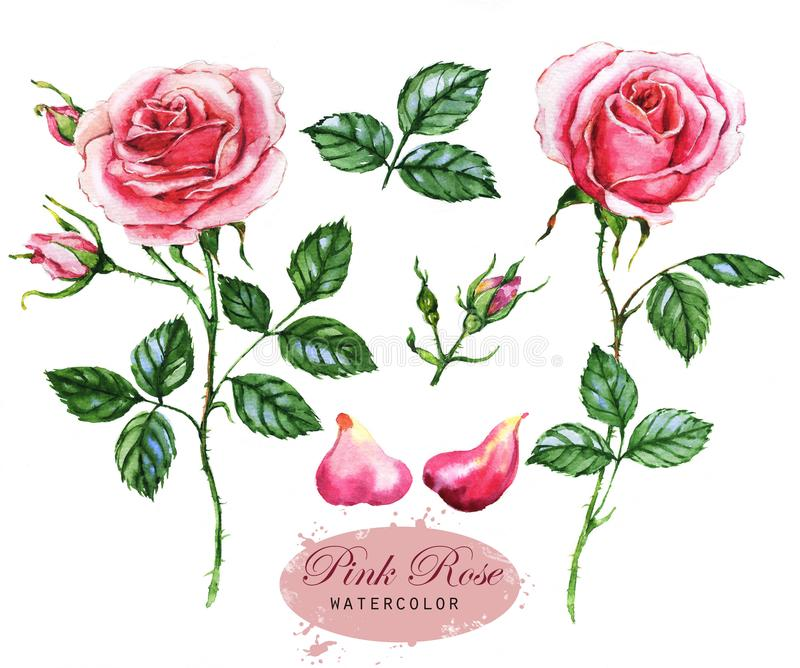 Hand-dragen vattenfärgillustration av de rosa rosorna Botanisk teckning som isoleras på den vita bakgrunden royaltyfri illustrationer