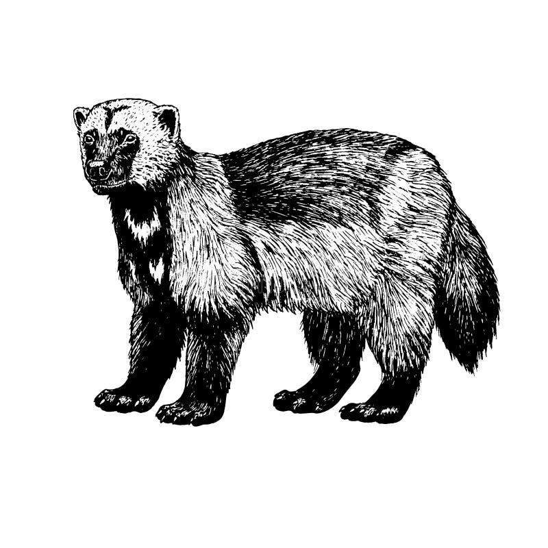 Hand dragen wolverine Vektorn skissar stock illustrationer
