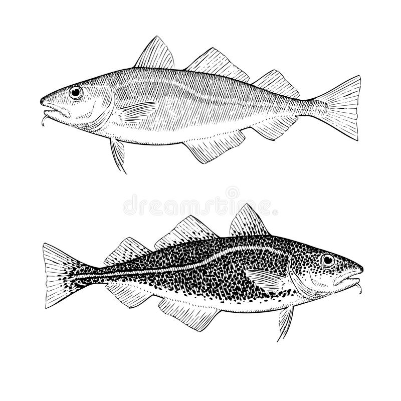 Hand Draw Atlantic Cod. Hand drawn illustration of Atlantic Cod royalty free illustration