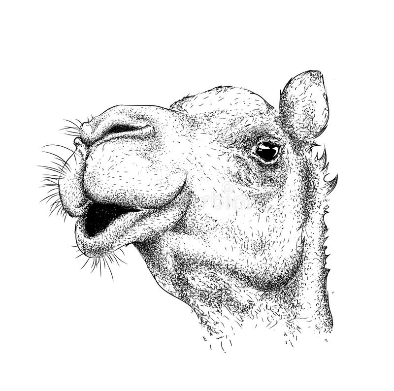 Free Hand Draw Camel Portrait. Hand Draw Vector Illustration Royalty Free Stock Images - 77734619