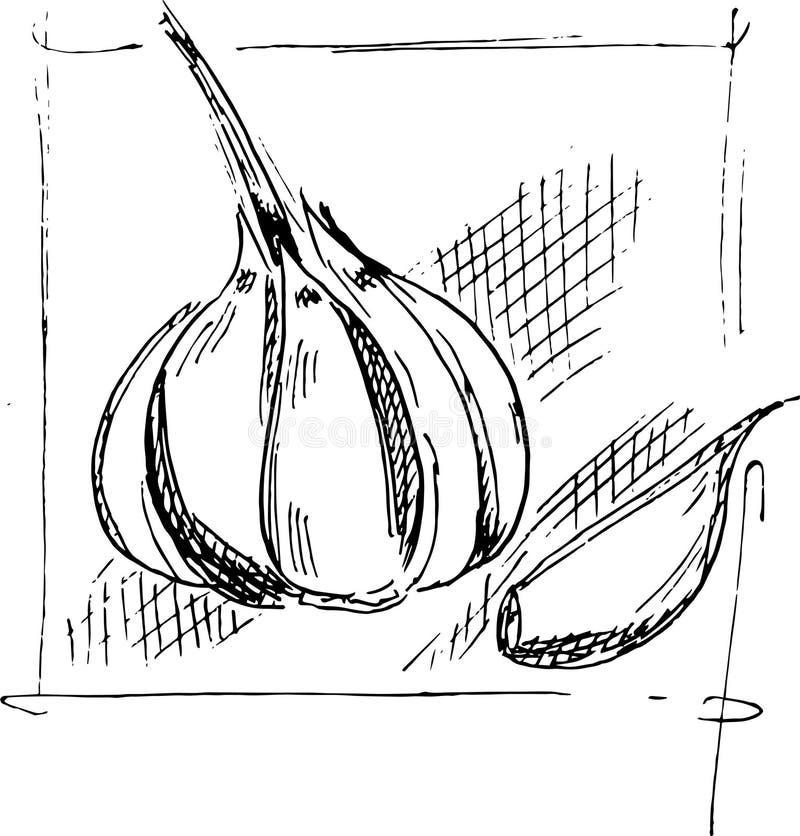 Hand drawing garlic sketch royalty free stock images
