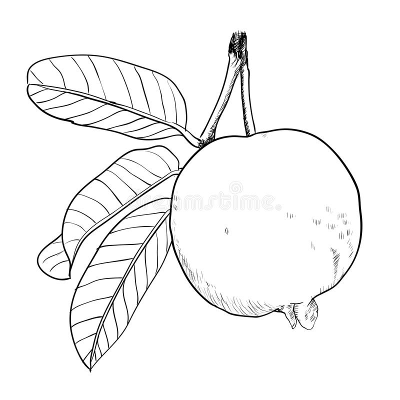 Hand drawing Guava with leaf-Vector drawn Illustration royalty free illustration