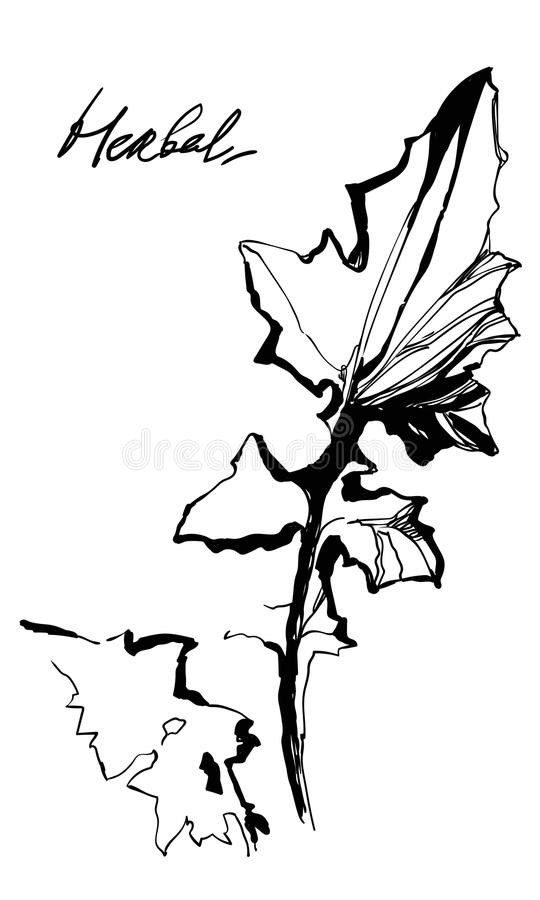 Dandelion gentle element for natural cosmetic design. Hand drawing herbal grass. Nifty footstalk and leaves silhouette. Vintage styling gentle element for vector illustration